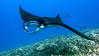 Kapono Manta Ray (Manta birostris), Kona Coast, Hawaii