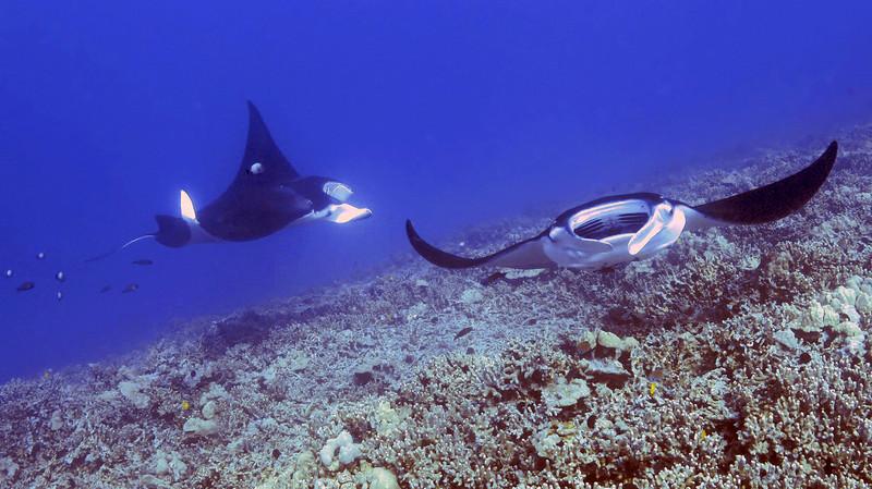 Lefty and Eli, Manta Ray (Manta birostris), Kona Coast, Hawaii