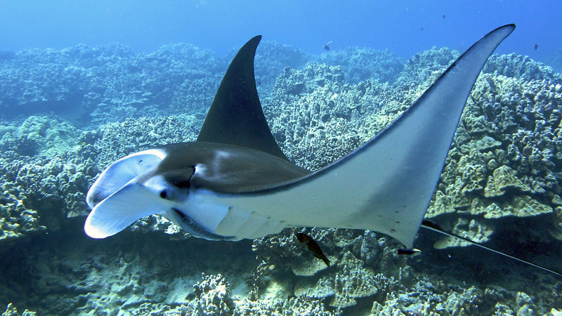 Nick , Manta Ray (Manta birostris), Kona Coast, Hawaii