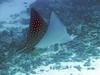 Spotted Eagle Ray, Kona Coast, Hawaii