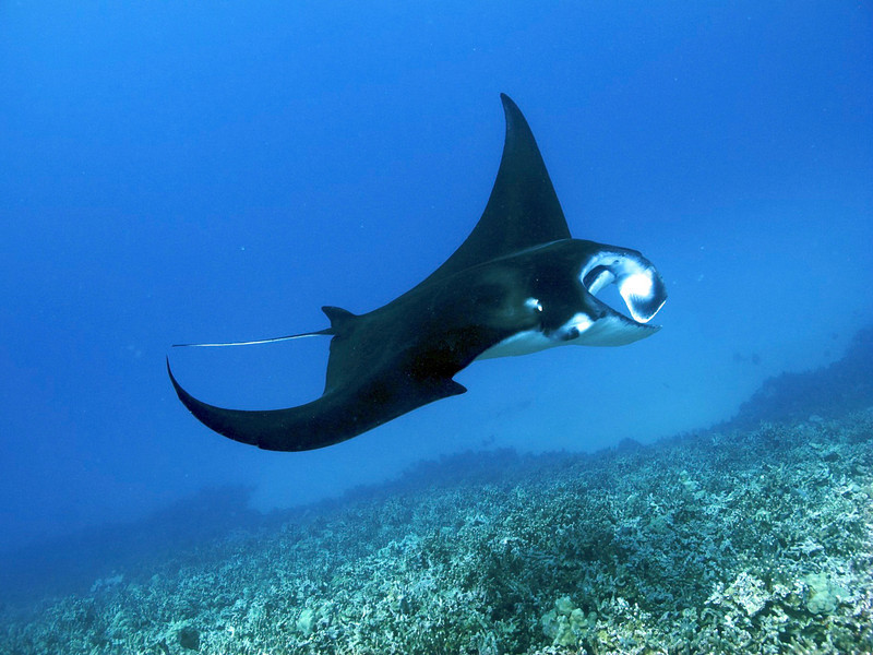 Melainah Ray, Manta Ray (Manta birostris), Kona Coast, Hawaii