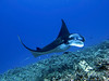 Takahashi Ray, Manta Ray (Manta birostris), Kona Coast, Hawaii