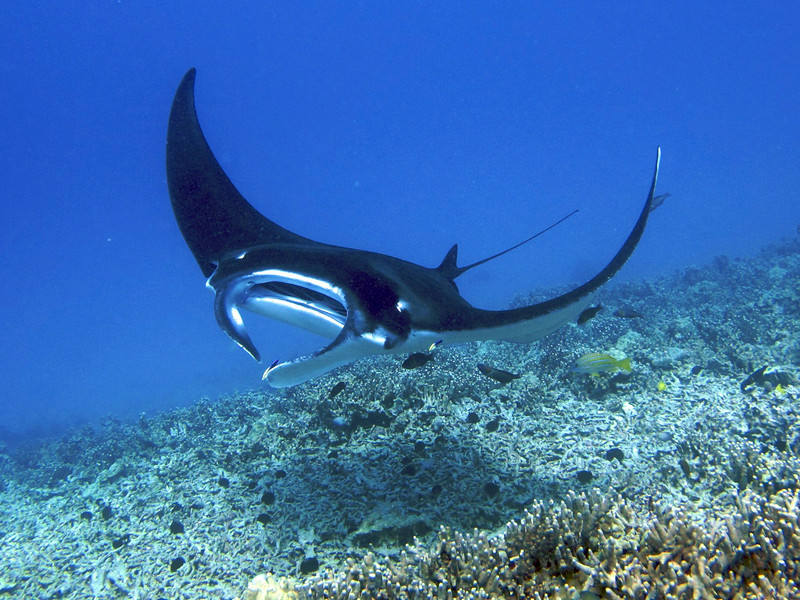 Melainah Ray , Manta Ray (Manta birostris), Kona Coast, Hawaii