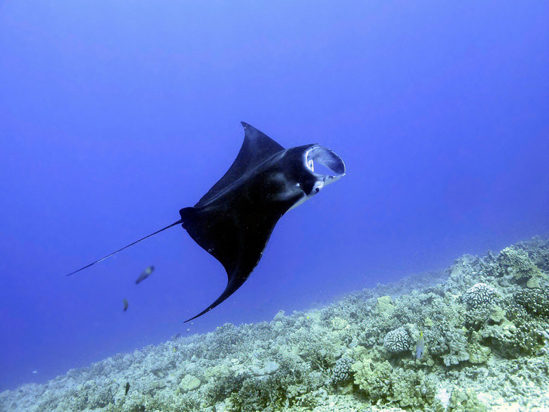 Jana Ray (Manta birostris), Kona Coast, Hawaii