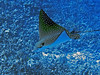 Spotted Eagle Ray, Kona Coast, Hawaii