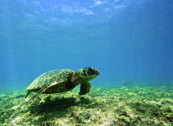 swimming with the hawaiian sea turtle, Chelonia mydas