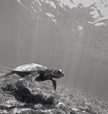 Black and white photo of hawaiian sea turtle, Chelonia mydas