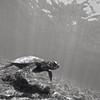 Black and white photo of hawaiian sea turtle, Chelonia mydas