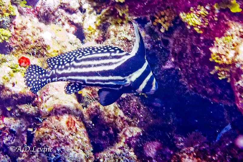 1895 adult spotted drumfish