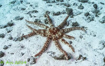 Magnificent Sea Star