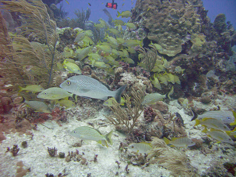 Sailors Choice is the name of the grey fish in front.