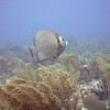 Gray Angelfish