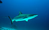 Gray reef shark (Chuuk)