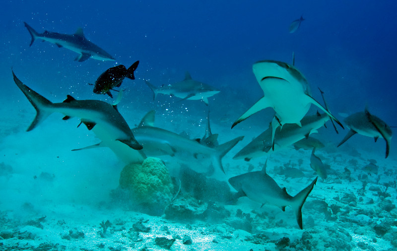 Reef sharks at feeding