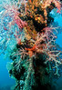 Softcorals on the mast of the Sankisan Maru
