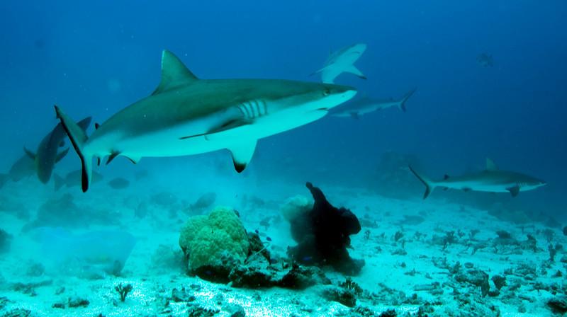Reef sharks at feeding
