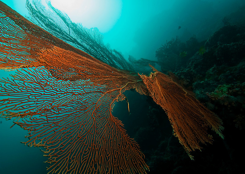 Giant seafan, Areu Wall, Pohnpei