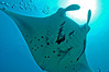 Manta ray at cleaning station, Pohnpei Lagoon