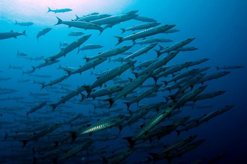 Barracuda, Pehleng Corner, Pohnpei