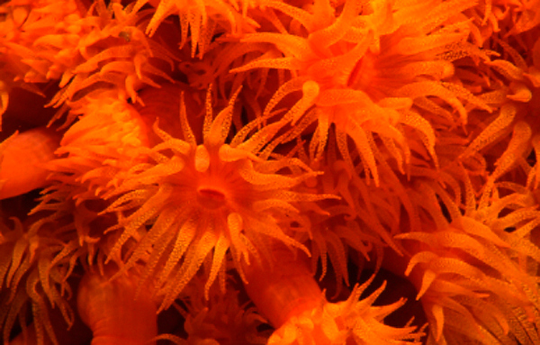 Orange Cup Coral<br /> Wreck of the Duane, Key Largo, Florida