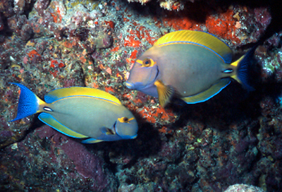 Reef Fish<br /> Kona, Hawaii - June 2004