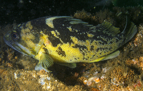 Black and Yellow Rockfish on Mohawk Reef 2