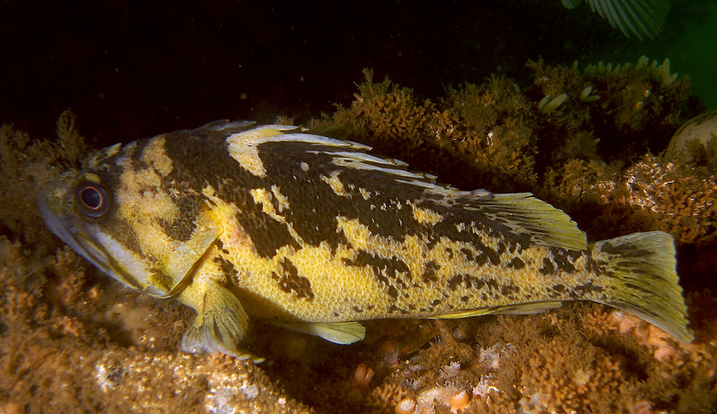 Black and Yellow Rockfish on Mohawk Reef