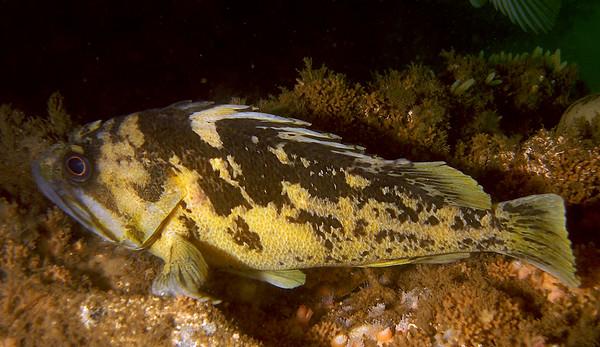 Black and Yellow Rockfish on Mohawk Reef
