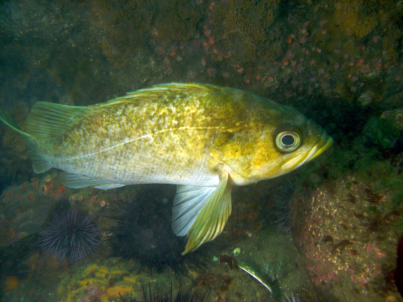 Kelp Rockfish on Mohawk reef