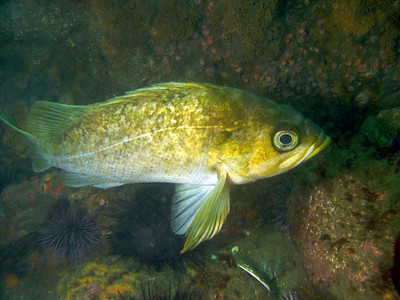 Kelp Rockfish on Mohawk reef