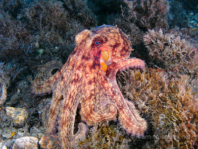 Common octopus.