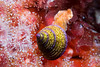 Purple Ring Top Snail