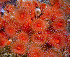corynactis anemone field