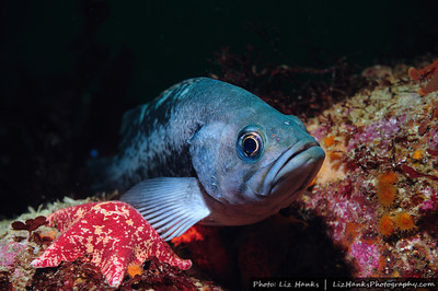 A black rockfish (Sebastes melanops) poses next to a sea star at Eric's Pinnacle.  Monterey Bay, California.