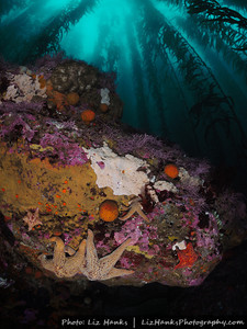Sea stars and orange puffball sponges decorate the underside of a ledge at Lingcod Reef.  Carmel Bay, California.