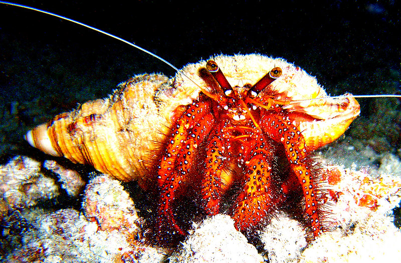 "Borneo. Night dive. A hermit crab gets busted. ""Officer, I did NOT steal this shell.  It was loaned to me by a very good friend."""