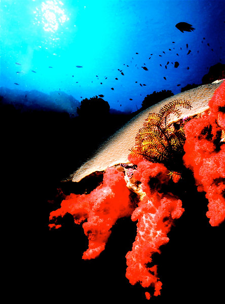 Red sponge and coral.