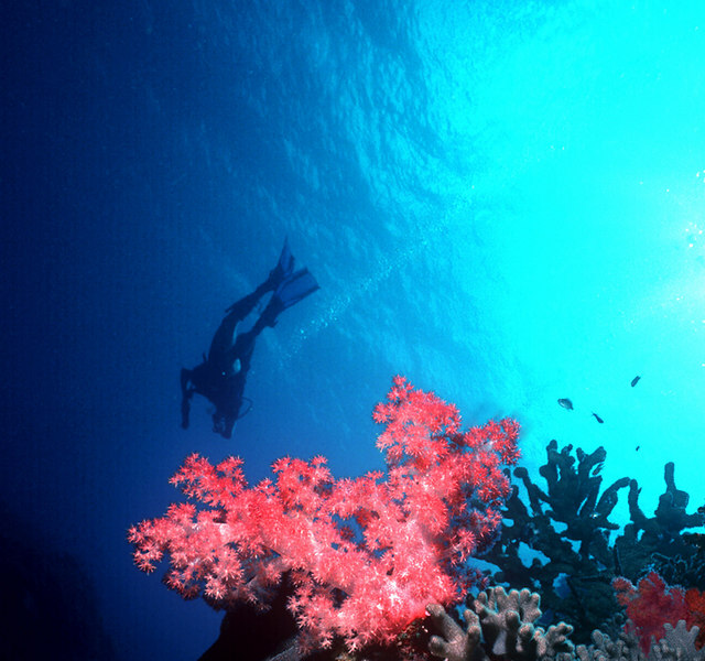 Freedom. Soft corals and diver. Fiji.