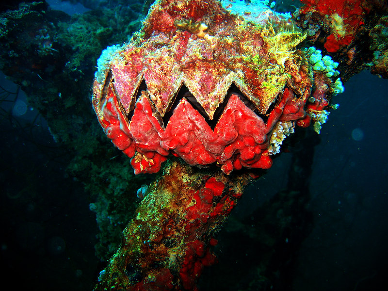 The ocean creating life from death. Sawtooth scallop on the World War II shipwreck Iro Maru. Palau. 2005.