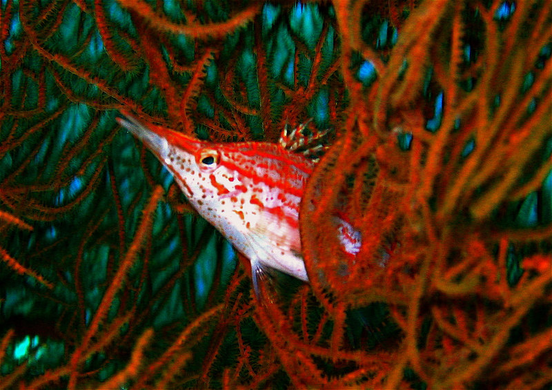 Hawkfish trying to hide. Indonesia. 2005.