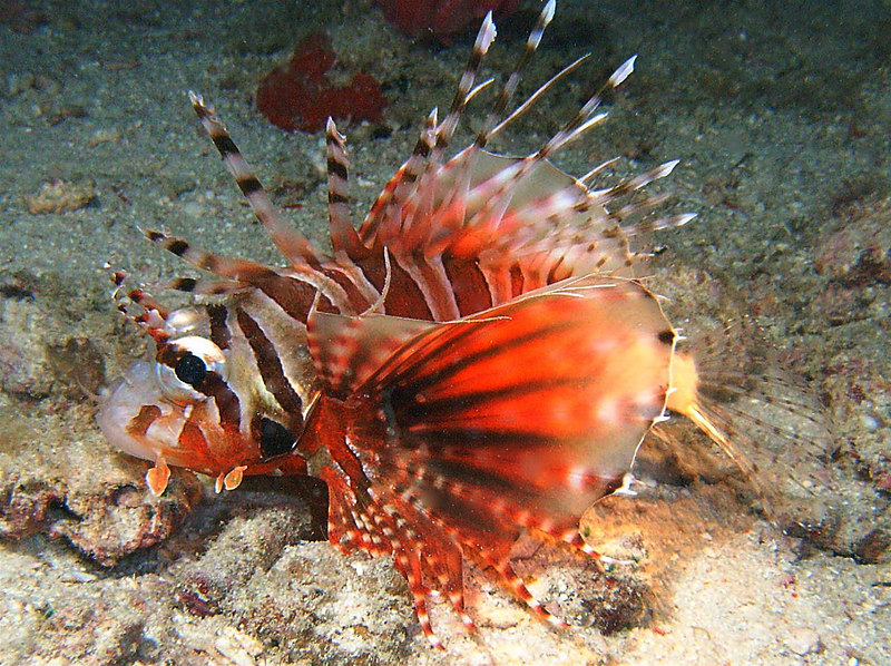 Night dive. Borneo. These two were together and I'm sure this is the offspring of the other lionfish. (Lionfish spines are venomous, so don't touch.)