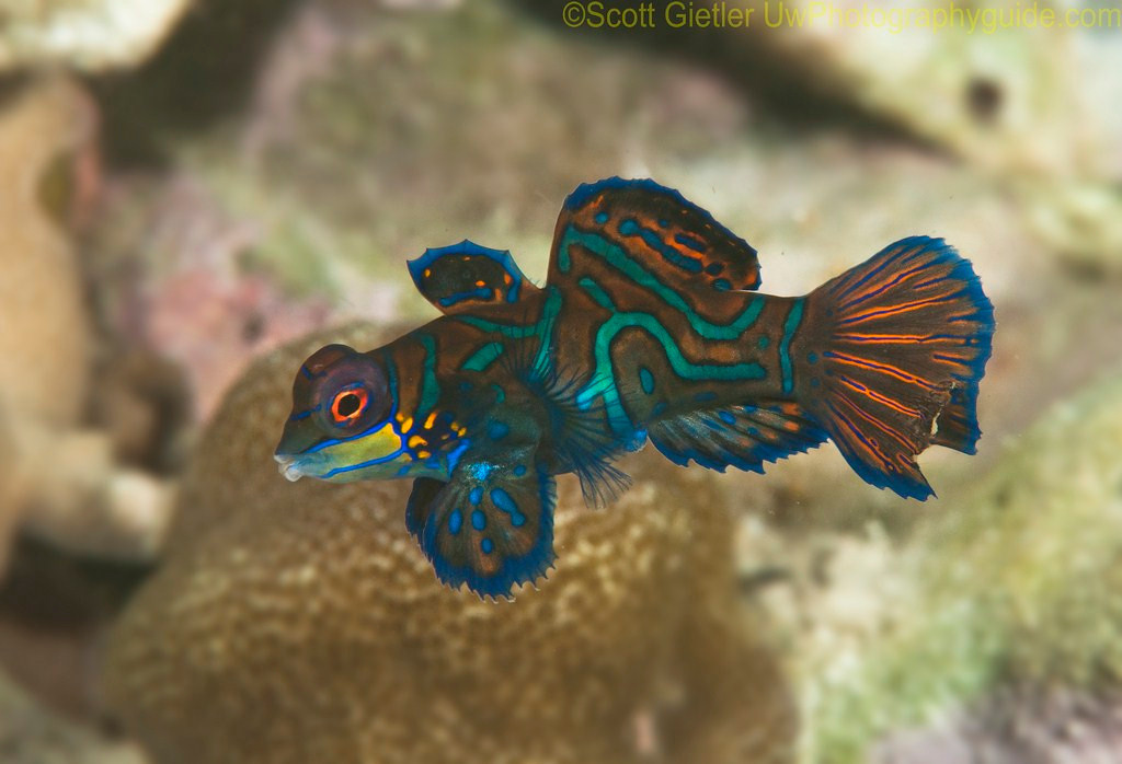 female Mandarin fish