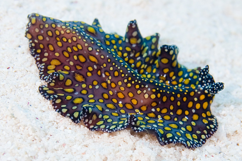 Leopard Flatworm