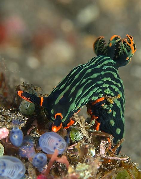 Nembrotha Kuraryana Nudibranch