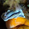 Chromodoris Willani Nudibranch