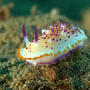 Mexichromis multituberculata nudibranch