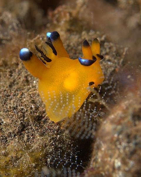 Thecacera pacifica Nudibranch