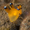 Thecacera pacifica Nudibranch