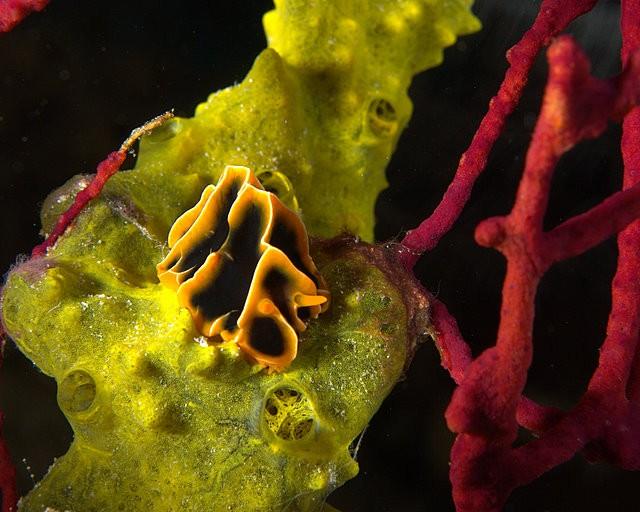 Reticuidia Halgerda Nudibranch