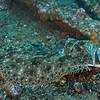 Gulf Flounder